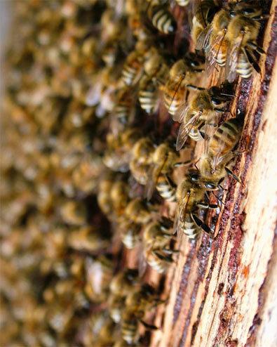 """Les ondes des mobiles """"fatales"""" pour nos abeilles - Mai 2011"""