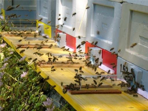 Etude allemande sur le changement comportemental des abeilles sous une exposition électromagnétique type mobile (portables, DECT) - 2005