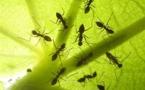 VIDEO / ETUDE : effets nocifs des ondes GSM mis en évidence sur des fourmis et des protozoaires - RTL.be - 11/07/2012